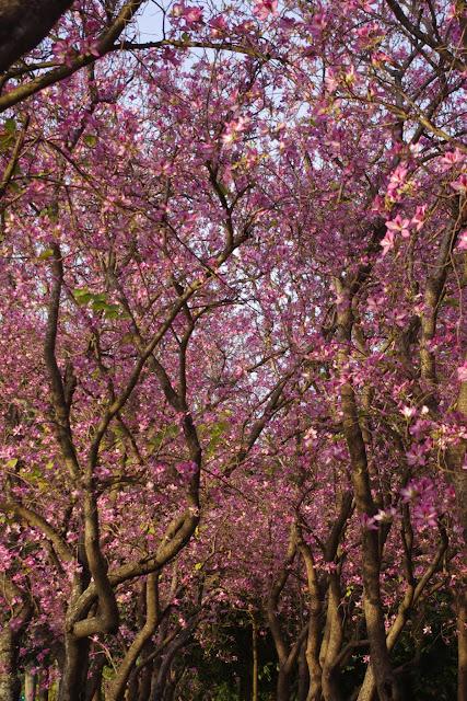 春之羊蹄甲