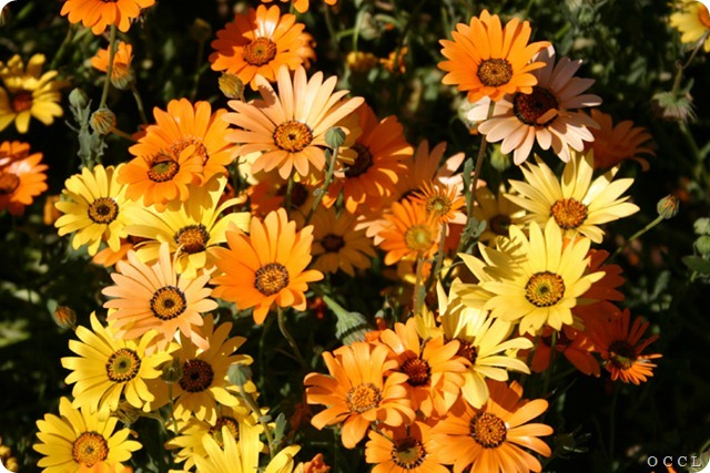African Daisy- orange &amp; yellow