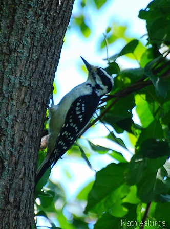 12. Hairy woodpecker-kab