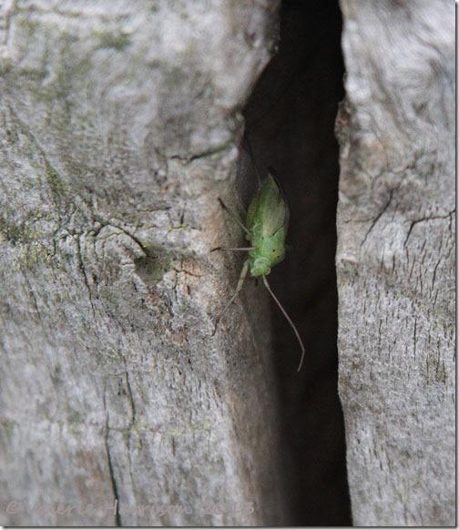 46-mirid-bug