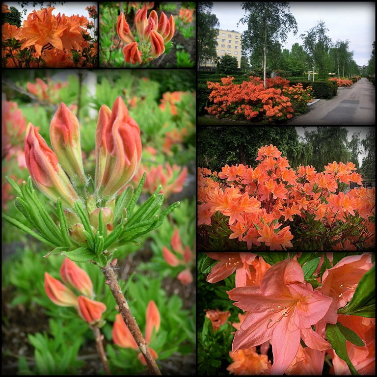 2013-06-02 orange azaleas CD