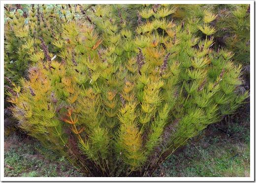 120211_UCSC_Arboretum_Elegia-capensis_01