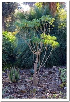 121013_RBG_Euphorbia-lambii_02
