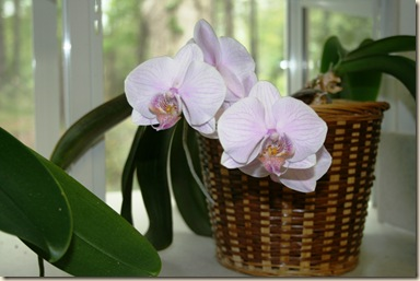 orchid 3-8-12