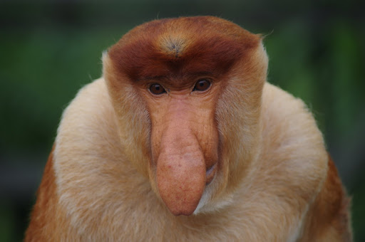 A male Proboscis Monkey showing off his big schnoz.