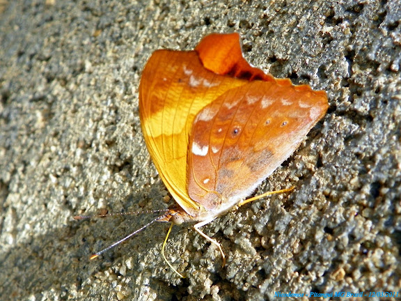 Temenis laothoe meridionalis EBERT, 1965. Pitangui (MG, Brésil), 12 mars 2011. Photo : Nicodemos Rosa