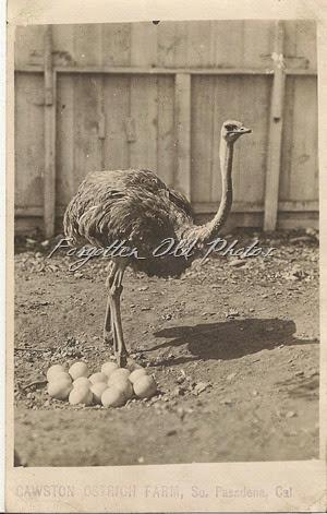 Cawson Ostrich Farm  Postcard ML Antiques