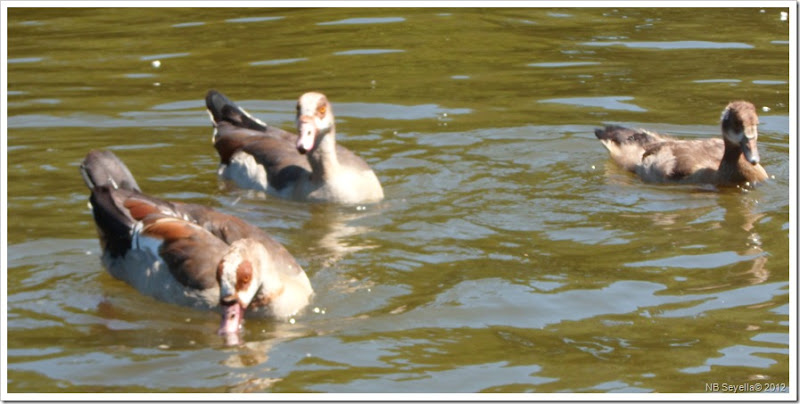SAM_1816 Egyptian Goose
