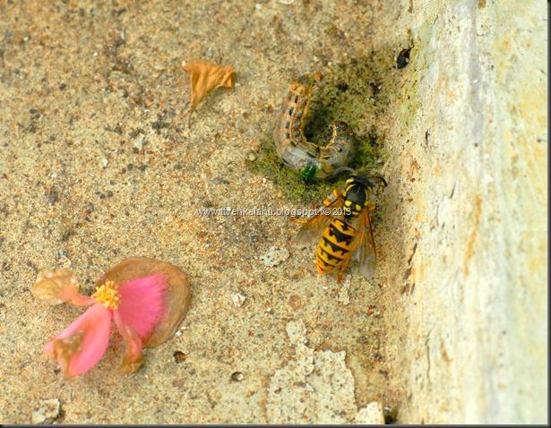 tapaja mehiläinen kala joessa 011