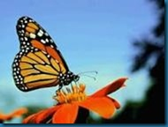 simplicity monarch butterfly information