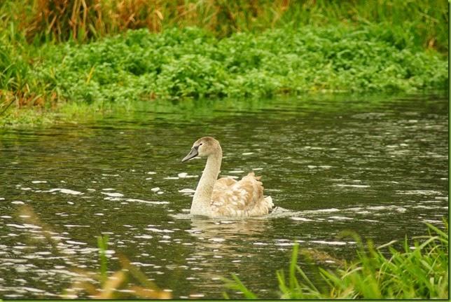 Walk along the river Bure, Buxton to Oxnead towards Aylesham