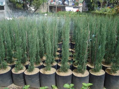Pohon cemara lilin | pohon pelindung | cemara tretes