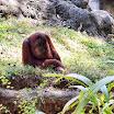 A Sumatran orangutan as Zoo Atlanta