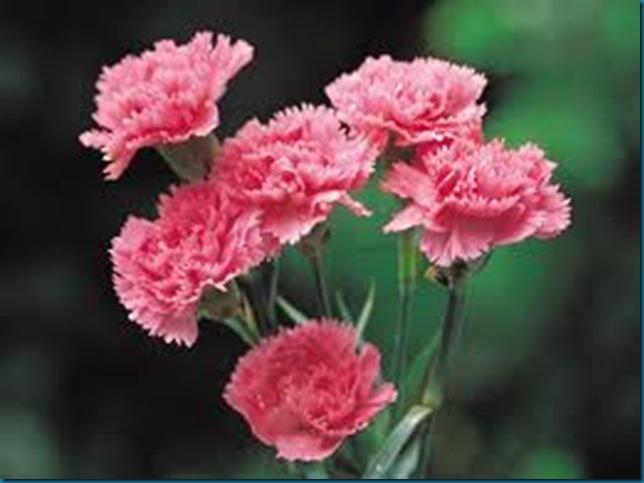 pink carnation - music