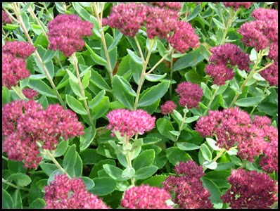 sedum - autumn joy3_thumb[2]