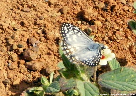 Hesperiidae : Pyrgus orcus (STOLL, 1780), mâle. Pitangui (MG, Brésil), 4 mai 2011. Photo : Nicodemos Rosa