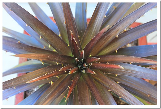 130915_Dyckia-Burgundy-Ice_07