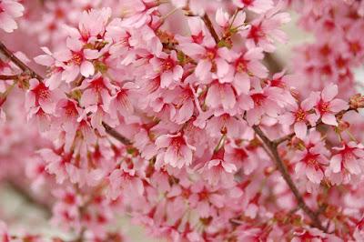 アパートに咲いてた桜