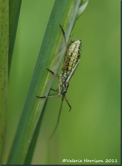 Meadow Plant Bug Leptopterna dolabrata