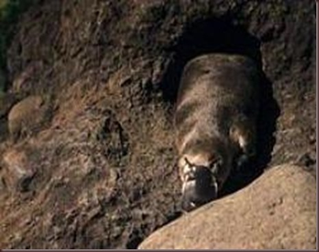 Amazing Pictures of Animals Platypus OrnithorhynchusAlex (1) - Αντίγραφο