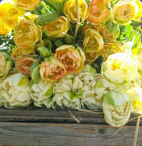 tulips bathtub gardens 10171708_636904229717290_146326008678769362_n