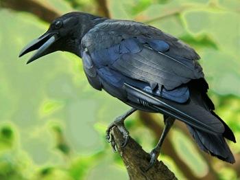 crow-sitting