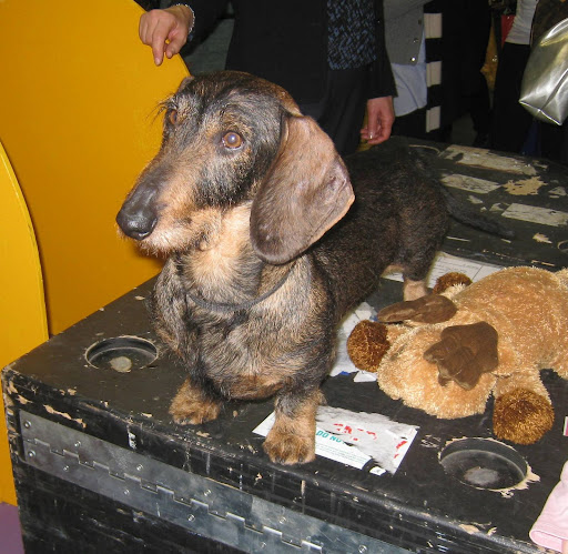 Wire Haired Dachshund and his reindeer friend.