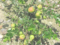 cranberries Crismson Queen planted spring 2011 vines w berries2