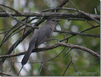 Gray Catbird at Writing on Stone