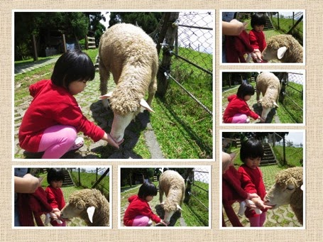 Yining feeding sheep