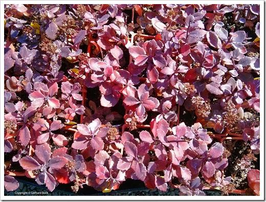 131010_Sedum-Dazzleberry_01