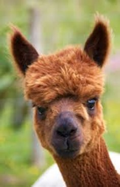 Amazing Pictures of Animals, photo, Nature exotic, funny, incredibel, Zoo, Vicugna pacos, Alpaca, Alex (28)