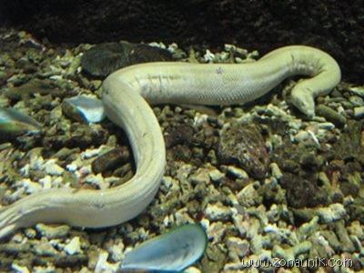 ular laut