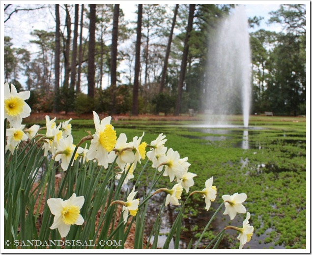Daffodil Fountain (1024x804)