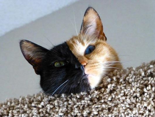 двуликая-кошка-венера-генетический-химеризм-4