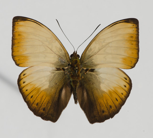 Cymothoe hyarbita hyarbita (HEWITSON, [1866]), mâle. Ebogo, avril 2013. Coll. et photo : C. Basset