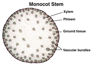 Monocot stem Anatomy