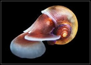 Amazing Pictures of Animals, Photo, Nature, Incredibel, Funny, Zoo, Limacina helicina, Mollusca, Alex (8)