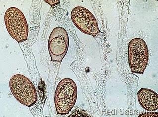 ciri-ciri Chytridiomycota 1