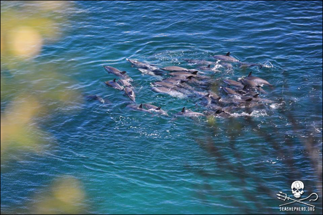 An entire family of Pantropical Spotted dolphins (Stenella attenuata) was obliterated on 24 January 2014 in the killing cove at Taiji, Japan. Despite worldwide media attention on Taiji, the dolphin killers continue to hunt, kidnap, and slaughter dolphins. Photo: Sea Shepherd Cove Guardians