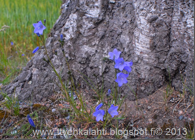 nikon E sarja 28mm silta kukkia 001
