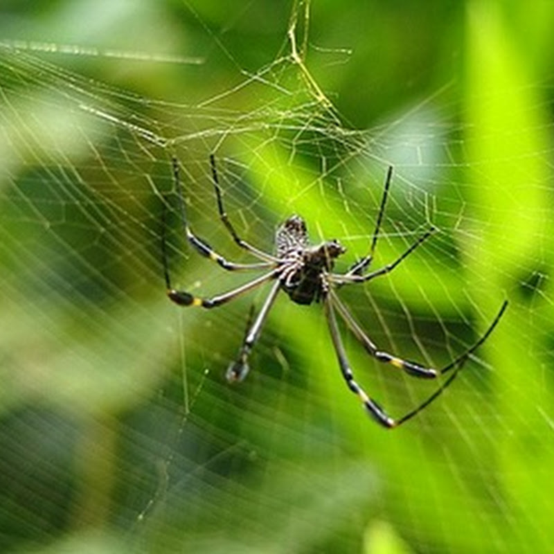 Descubren que la seda de arañas son posibles conductores térmicos