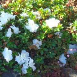 de Azalea die we ooit van Berendina kregen bloeit maar door.