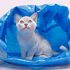 Misti in wonderland by Mia Ikonen - Animals - Cats Kittens ( blue, bag, finland, cute, burmese,  )