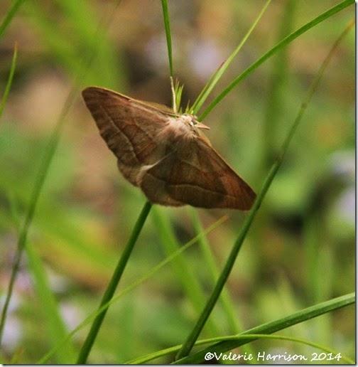 16-brown-silverline