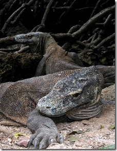 Only Komodo Dragon living on Planet Earth