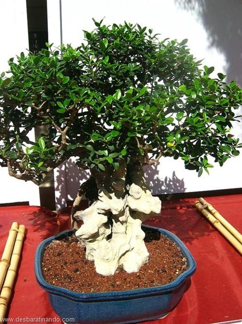 bonsais arvores em miniatura desbaratinando (45)