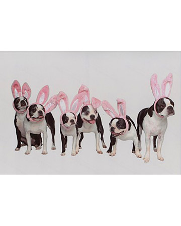 Bailey, Dixie, Bubbles, Bosley, Roxy, and Halen, Boston terriers from Tallahassee, Florida.