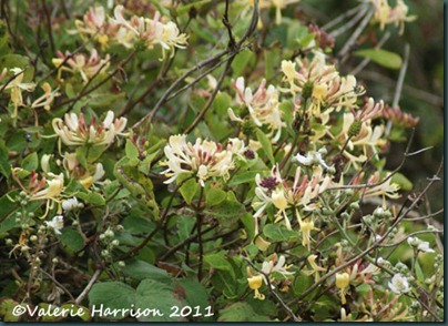 43-honeysuckle