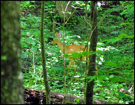 17i - down Rock Garden Trail - Deer